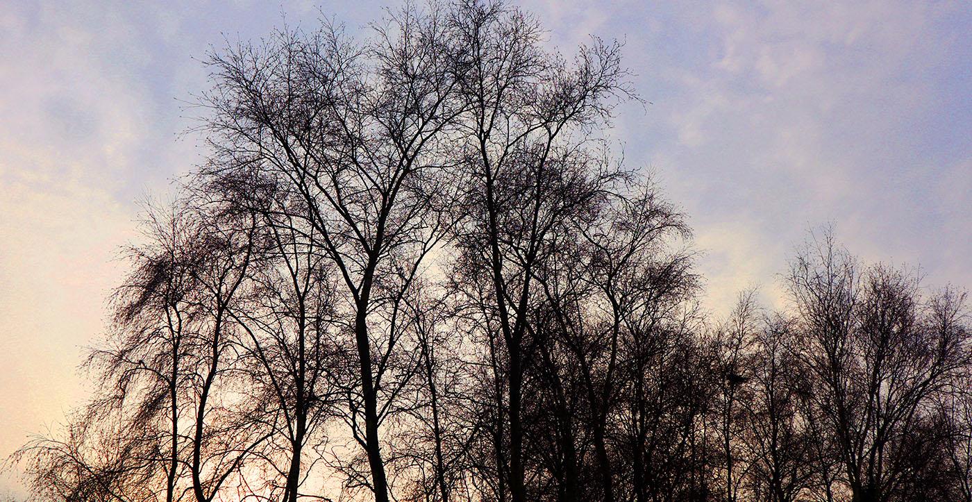 Berkenbomen